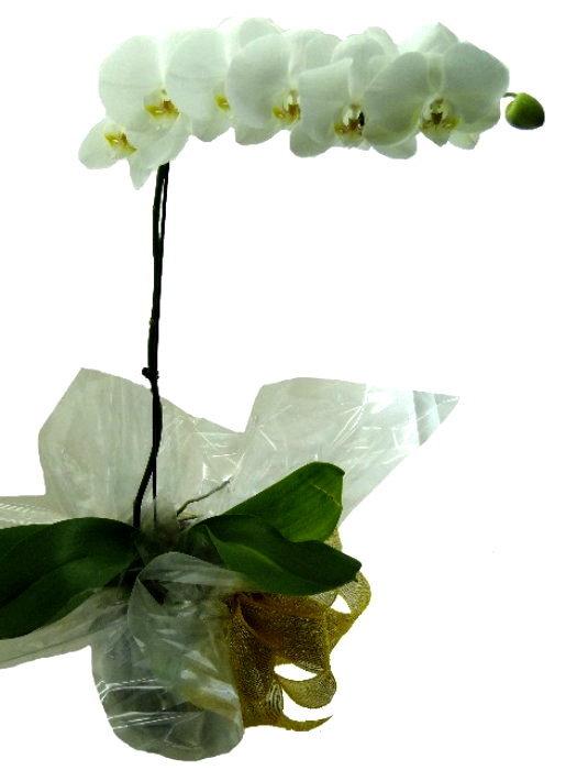 Orq. Phalaenopsis 1 Haste